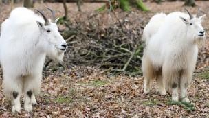 Schneeziegen neu im Tierpark Oberwald: Nordamerikanische Tiere kommen aus Zoo Augsburg