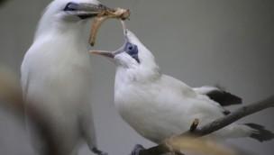 Balistar-Nachwuchs im Zoo Osnabrück: Vogeljungtier wird im Februar 2019 flügge