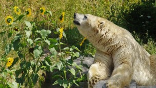 Erlebnis-Zoo Hannover Eisbär mit Sonneblumen