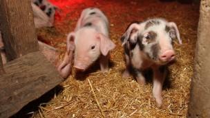 20 Ferkel! Erlebnis-Zoo Hannover freut sch über viel Nachwuchs bei Bunten Bentheimer Schweinen