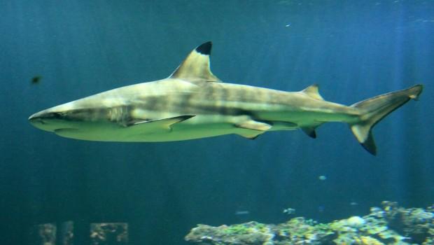 Schwarzspitzen-Riffhai im Tierpark Hellabrunn