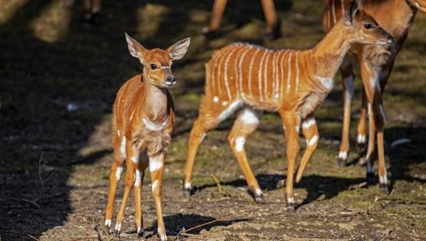 Tierpark Hellabrunn Nyala Nachwuchs