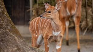 Erste Frühlingsboten in Hellabrunn: Münchner Tierpark freut sich über Nachwuchs bei den Nyalas