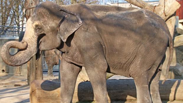 Zoo karlsruhe Elefant Rani