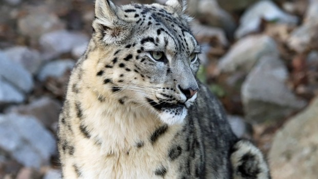 Zoo Karlsruhe Zooleoparden Nachwuchs Dinata