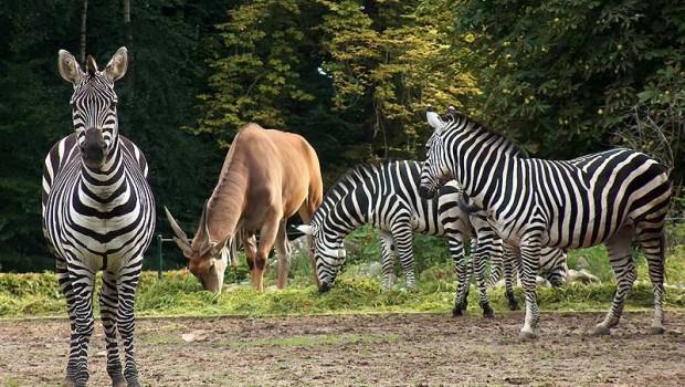 Tierpark Cottbus Zebras