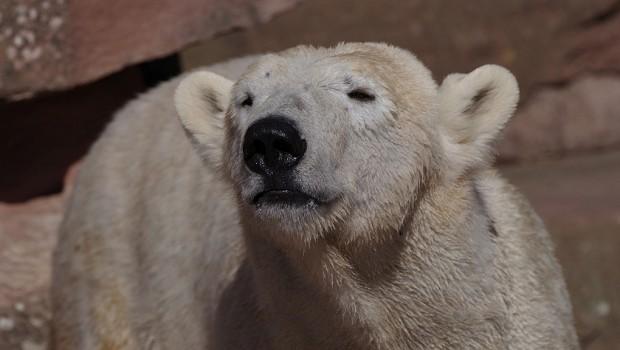 Eisbärin Charlotte Erlebnis-Zoo Hannover