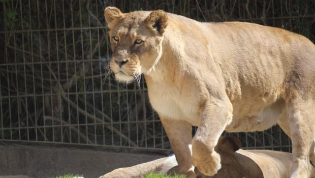 Zoo Osnabrück Löwin Nyota