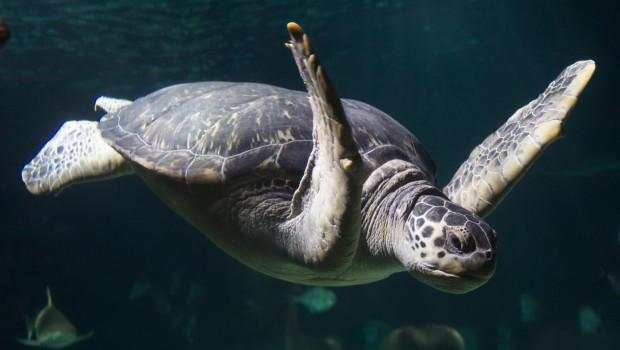 Meeresschildkröte Twiggy im SEA LIFE Oberhausen