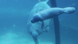 5-jährige Seekuh in Burgers' Zoo bringt Baby zur Welt