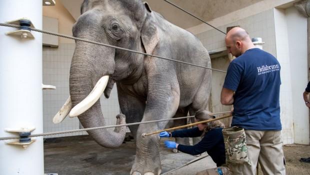 Tierpark Hellabrunn Medical Training Elefanten
