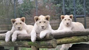 Tier- und Freizeitpark Thüle Weiße Löwen