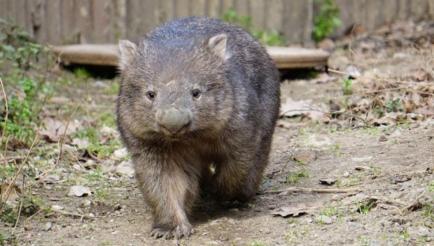 Zoo Hannover Wombat Kelly