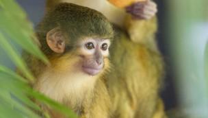 Affenpark Apenheul Zwegmeerkatzen