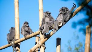 Tierpark Hellabrunn Silbergibbons Außenlage