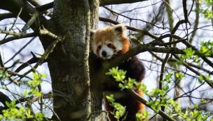 Erlebnis-Zoo Hannover Roter Panda Flin