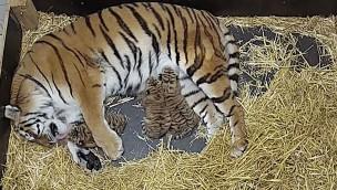 Sibirische Tiger-Babys in Hannover: Erlebnis-Zoo 2019 mit dreifachem Nachwuchs