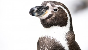 Tierpark Hellabrunn Humboldt Pinguin Winter