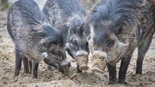 Weitere Visayas-Pustelschweine im Tierpark Hellabrunn eingetroffen