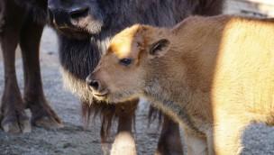 Erlebnis-Zoo Hannover Bison-Nachwuchs 2019