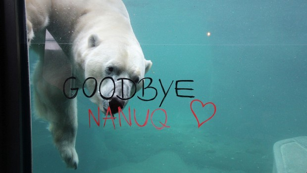 Eisbär Nanuq Erlebnis-Zoo Hannover