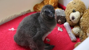 Handaufzucht im Zoo Osnabrück: Junger Pinguin entwickelt sich bestens