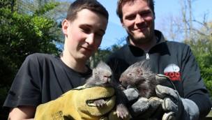Doppelter Stachelschwein-Nachwuchs im Zoo Osnabrück