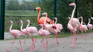 ZOOM Erlebniswelt Gelsenkirchen: Flamingos und Pelikane wieder im Sommerquartier