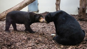 Burgers' Zoo feiert 2019 Premiere: Malaienbären bekommen Zwillinge