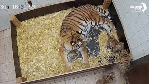 Tiger-Drillinge im Erlebnis-Zoo Hannover werden immer aktiver – neues Video veröffentlicht