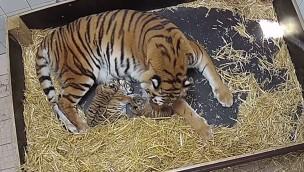Erlebnis-Zoo Hannover: Vier Wochen alte Sibirische Tiger-Drillinge entwickeln sich prächtig