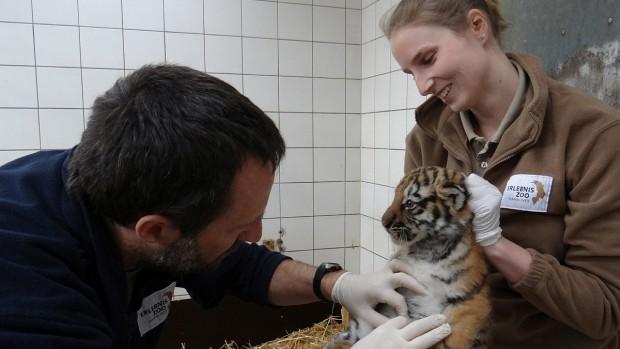 Erlebnis-Zoo Hannover Tiger Jungtier Untersuchung