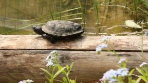 Tierpark Hellabrunn bietet Sumpfschildkröten neues Zuhause