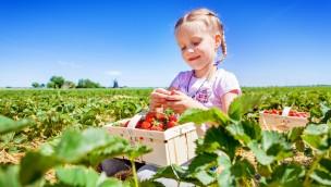 Karls öffnet Erdbeer-Selbstpflückfelder rund um Rostock am 25. Mai 2019