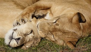 Serengeti-Park Löwen