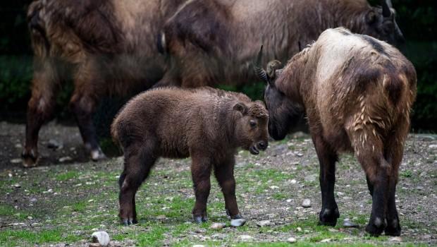 Tierpark Hellabrunn Takine Saona und Tadeus