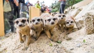 Tierpark Herborn Erdmännchen
