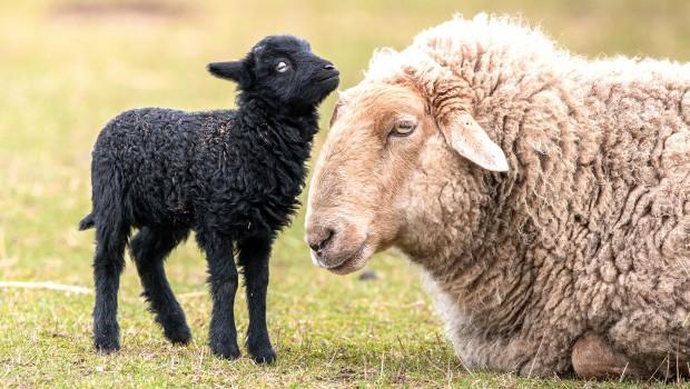 Tripsdrill Wildparadies Nachwuchs Schafe