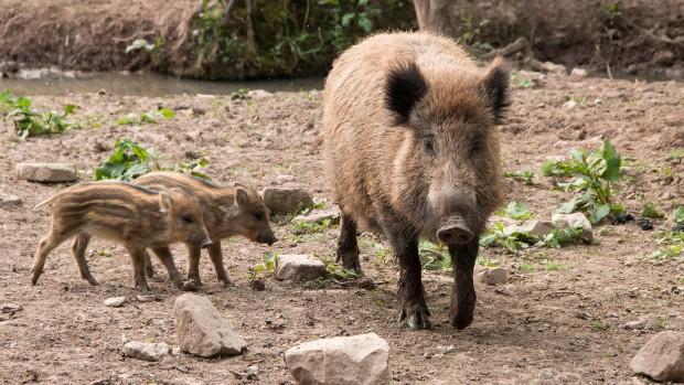 Tripsdrill Wildparadies Nachwuchs Wildschweine