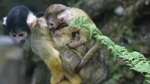 Zoo Osnabrück: Nachwuchs bei Baumstachlern, Totenkopfaffen und Rentieren