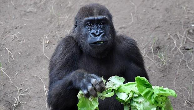 Zoo Rostock Gorilla Kwame