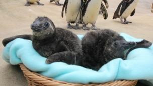 Erlebnis-Zoo Hannover junge Pinguine
