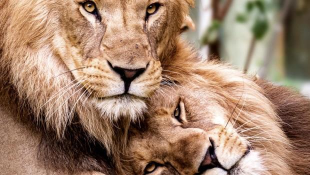 Schwule Löwen Hellabrunn