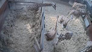 Serengeti-Park Giraffen Live Stream