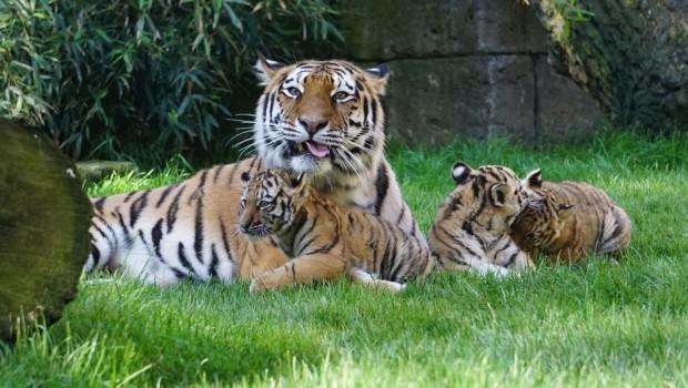Tiger-Babys Erlebnis-Zoo Hannover 2019 Mutter Dschungel