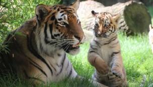 Tiger Babys Hannover
