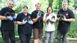 Zoo Osnabrück: Jungtiere bei Polarfüchsen, Zebras und den Hudson-Bay-Wölfen