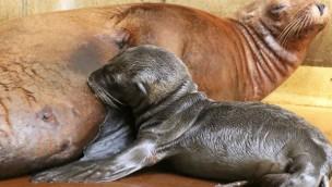 Zoologischer Stadtgarten Karlsruhe freut sich über Nachwuchs bei Seelöwen