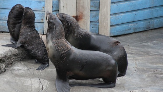 Erlebnis-Zoo Hannover Seebären Nachwuchs