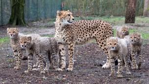 Nach Zuchterfolg: Europäische Geparden aus Burgers' Zoo ziehen nach Spanien